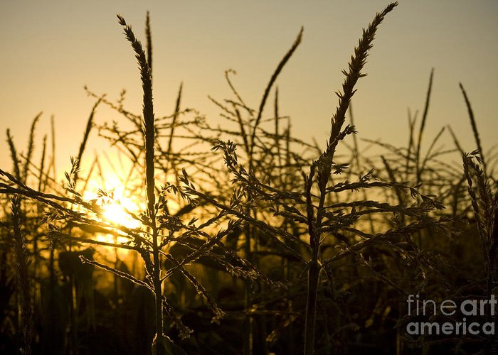 Golden Greeting Card featuring the photograph Golden Corn by Idaho Scenic Images Linda Lantzy