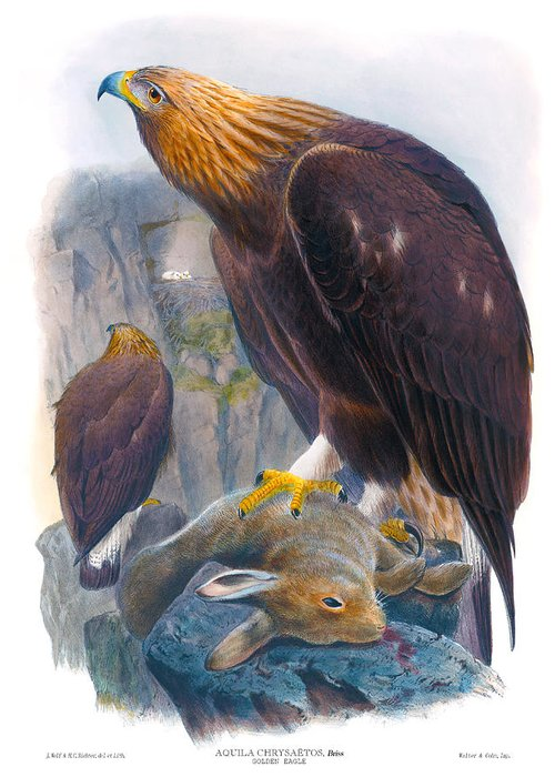 Golden Eagle Greeting Card featuring the painting Golden Eagle Antique Print John Gould Birds Of Great Britain by Orchard Arts