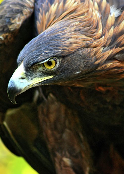 Golden Eagle Greeting Card featuring the photograph Golden Eye by Scott Mahon