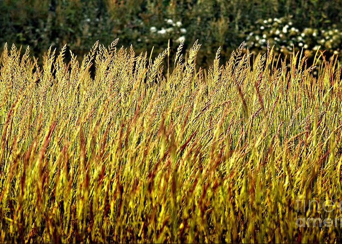 Grass Greeting Card featuring the photograph Golden Grasses by Meirion Matthias