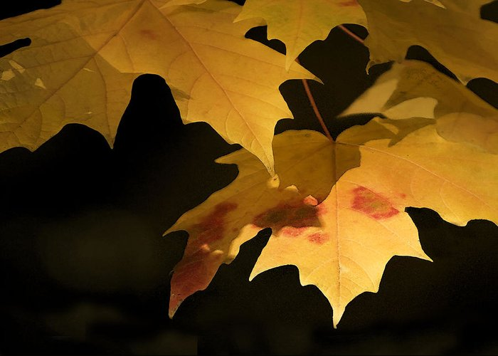 Nature Greeting Card featuring the photograph Golden Maple by Sharon Foster