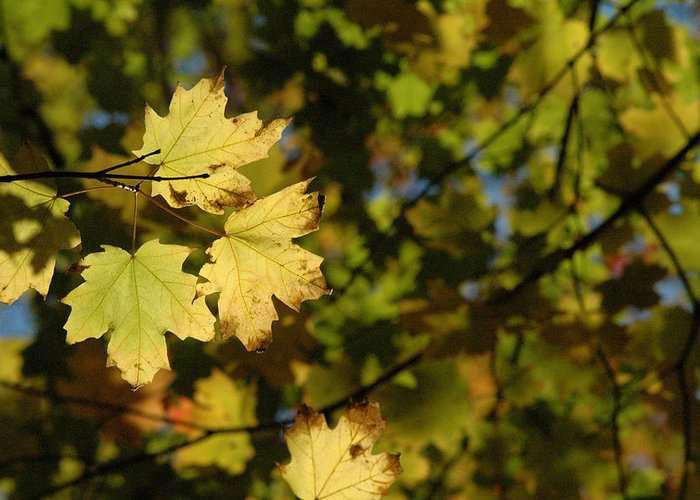Yellow. Leaves Greeting Card featuring the photograph Golden Morning by Trish Hale