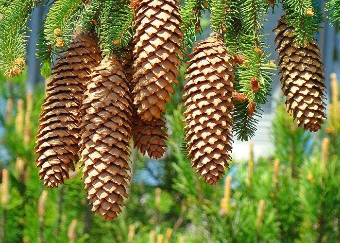 golden pine cones art prints pine trees baslee troutman greeting
