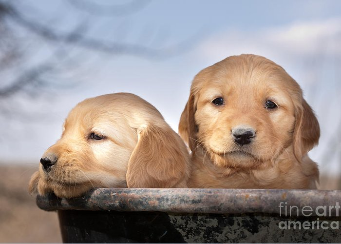Dogs Greeting Card featuring the photograph Golden Puppies by Cindy Singleton