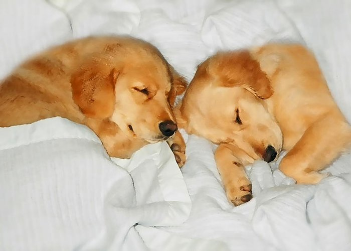 Golden Retriever Greeting Card featuring the photograph Golden Retriever Dog Puppies Sleeping by Jennie Marie Schell