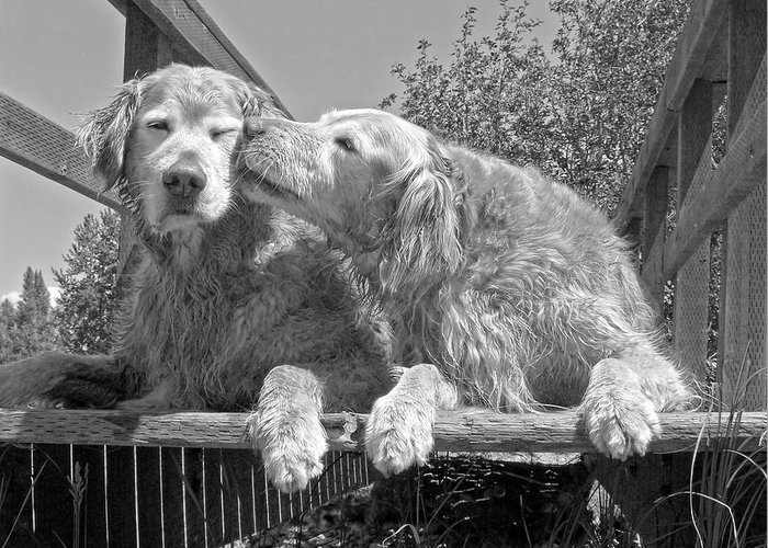Golden Retriever Greeting Card featuring the photograph Golden Retrievers The Kiss Black And White by Jennie Marie Schell
