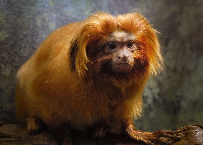 Animal Greeting Card featuring the photograph Golden Tamarin by Michael Beech
