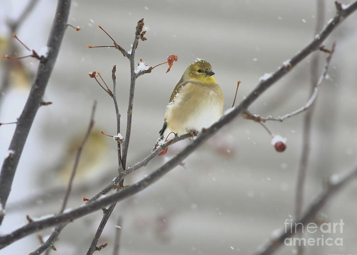 Finch Greeting Card featuring the photograph Golden With Snow by Deborah Benoit