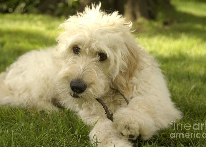 Dog Greeting Card featuring the photograph Goldendoodle Puppy And Stick by Anna Lisa Yoder