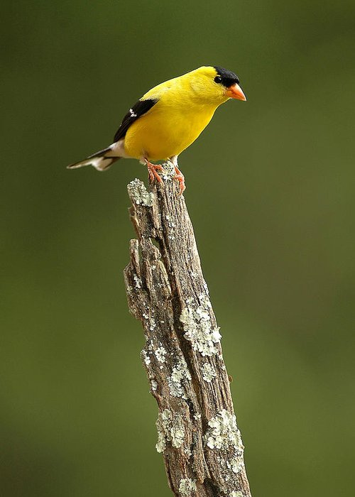 American Goldfinch Greeting Card featuring the photograph Goldfinch On Lichen Post by Alan Lenk