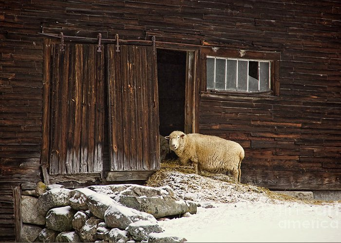 Sheep Greeting Card featuring the photograph Good Morning by Diana Nault