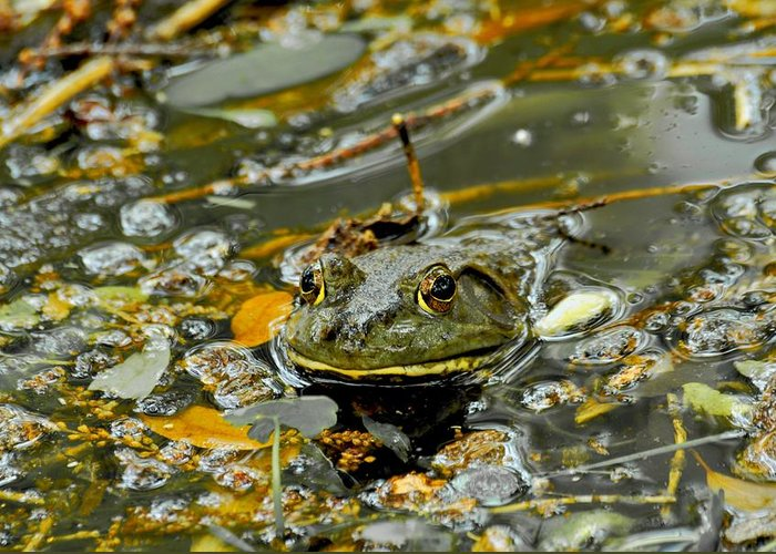 Frogs Greeting Card featuring the photograph Good Morning by Donna Shahan