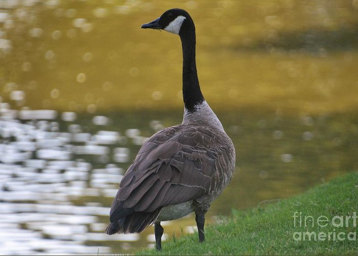 Greeting Card featuring the photograph Goose by Blue Paw