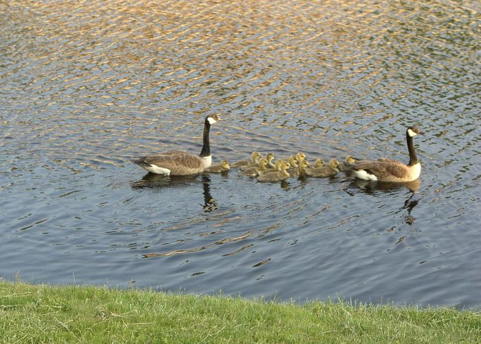 Geese Greeting Card featuring the photograph Goose Pond 1 by Nancy Ferrier