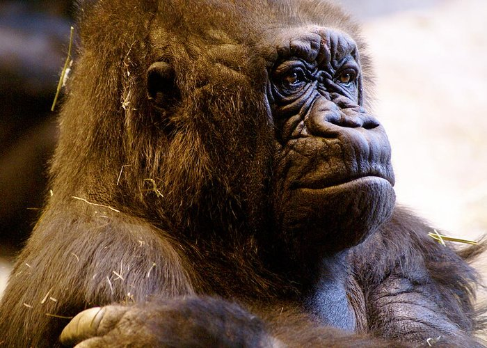 Zoo Greeting Card featuring the photograph Gorilla Headshot by Sonja Anderson