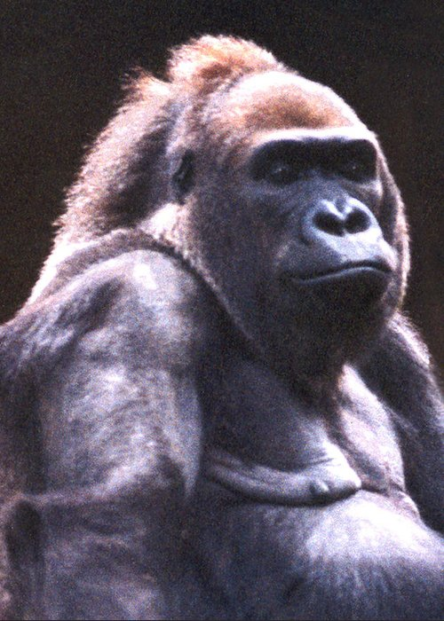 Gorilla Greeting Card featuring the photograph Gorilla by Steve Karol