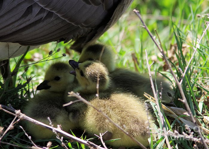 Gosling's Greeting Card featuring the photograph Gosling's In The Shade by Jeff Swan