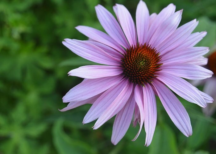 Purple Greeting Card featuring the photograph Grace by Tim Votapka