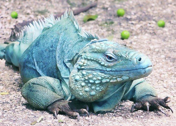 Blue Iguana For Sale : Grand cayman blue iguana greeting card for sale by iryna goodall