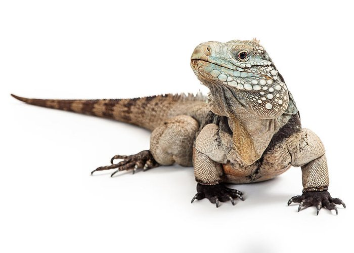 Blue Iguana For Sale : Real iguana skull etsy