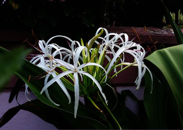 Lily Greeting Card featuring the photograph Grand Crinum Lily by Nick Photography