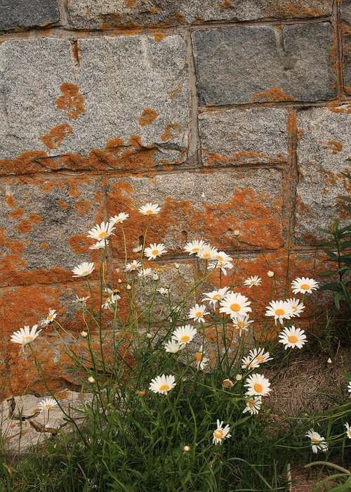 Landscape Greeting Card featuring the photograph Granite Daisies by Doug Mills