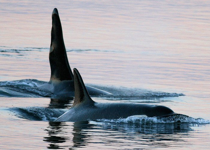Orcas Greeting Card featuring the photograph Granny And Ruffles Orca Whales J Pod by Sandy Buckley