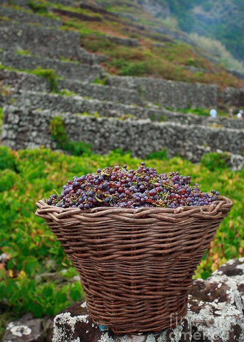Basket Greeting Card featuring the photograph Grape Harvest by Gaspar Avila