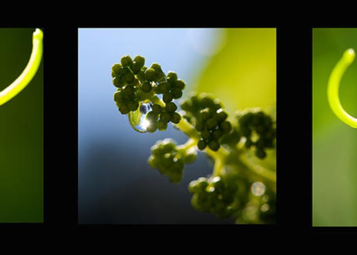 Triptych Greeting Card featuring the photograph Grape Vines And Water Drops Triptych by Lisa Knechtel