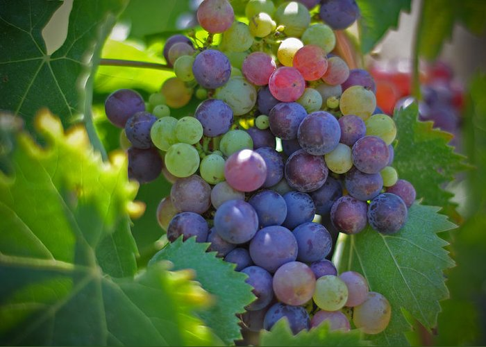 Grapes Winery Wine Leaves Landscape Photography Canvas Greeting Cards Fruit Grape Vine Vino Vineyard Greeting Card featuring the photograph Grapes by Kelly Wade
