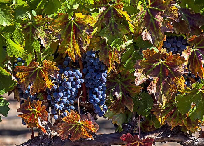 Grapes Greeting Card featuring the photograph Grapes Of The Napa Valley by Garry Gay