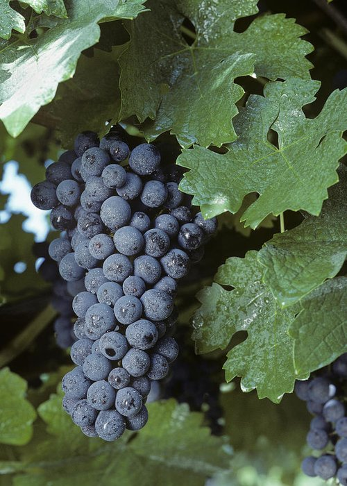 Grapes Greeting Card featuring the photograph Grapes On The Vine by Kenneth Garrett