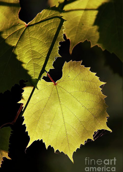 Grapevine Greeting Card featuring the photograph Grapevine In The Back Lighting by Michal Boubin