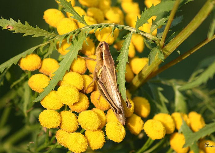 Bug Grasshopper Plants Flowers Nature Yellow Wild Life Green Weed Greeting Card featuring the photograph Grasshopper by Andrea Lawrence