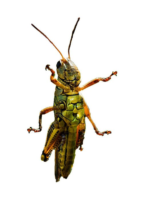 Grasshopper Greeting Cards