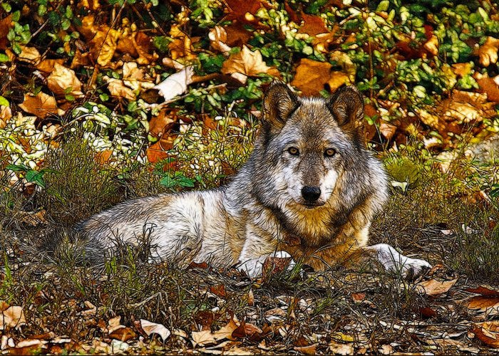 Wolf Greeting Card featuring the photograph Gray Wolf In Autumn by Sandy Keeton