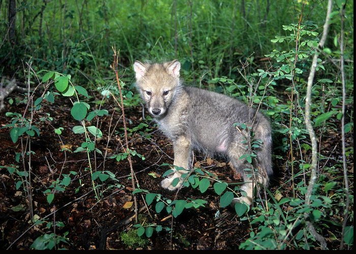 Wildlife Greeting Card featuring the photograph gray Wolf Pup in Woods by Larry Allan