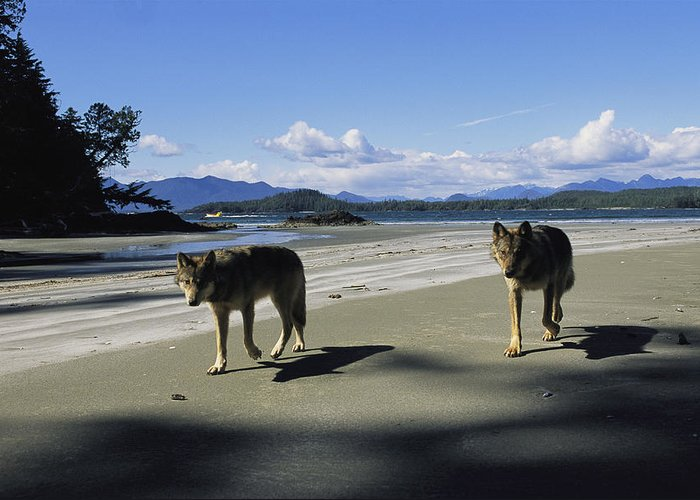 Pacific Ocean Greeting Card featuring the photograph Gray Wolves On Beach by Joel Sartore