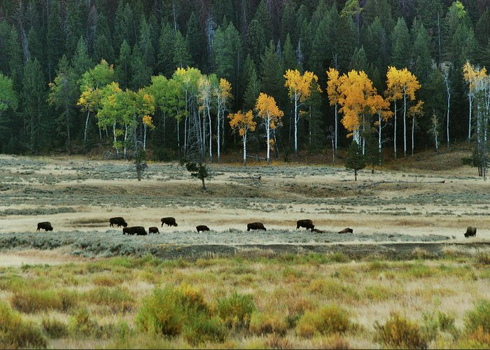 Bison Greeting Card featuring the photograph Grazing Bison by Michael Peychich