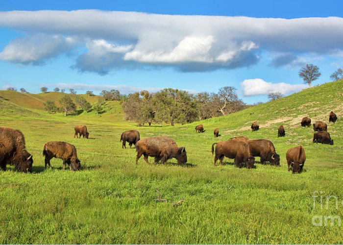 Buffalo Greeting Card featuring the photograph Grazing Buffalo by Mimi Ditchie