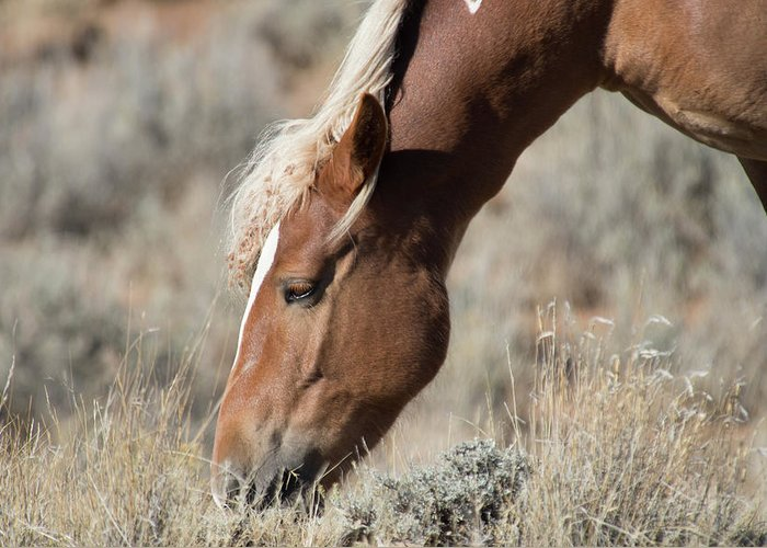 Cody Greeting Card featuring the photograph Grazing Wild Horse by Frank Madia