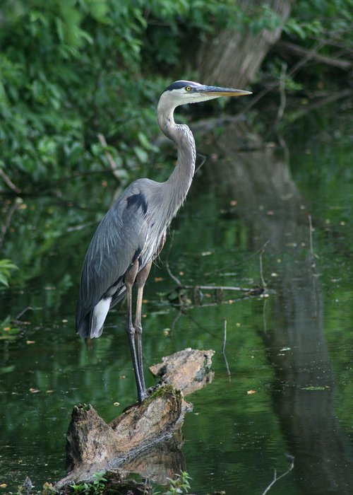 Landscape Water Bird Nature Wildlife Crane Great Blue Heron Greeting Card featuring the photograph Great Blue Heron by Dawn Downour