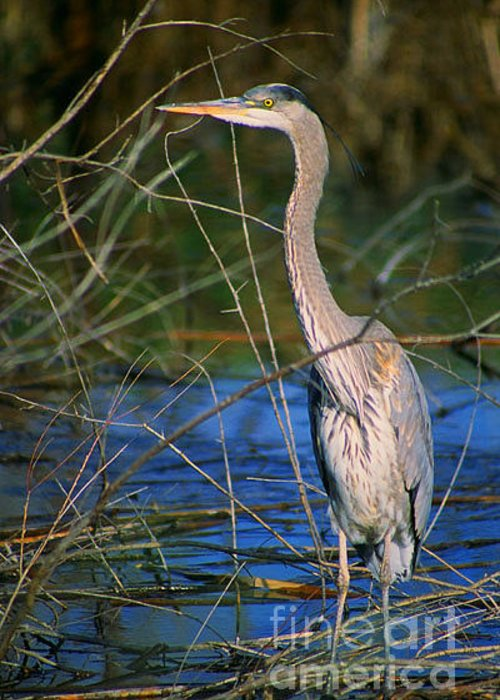 Heron Greeting Card featuring the photograph Great Blue Heron by Dennis Hammer