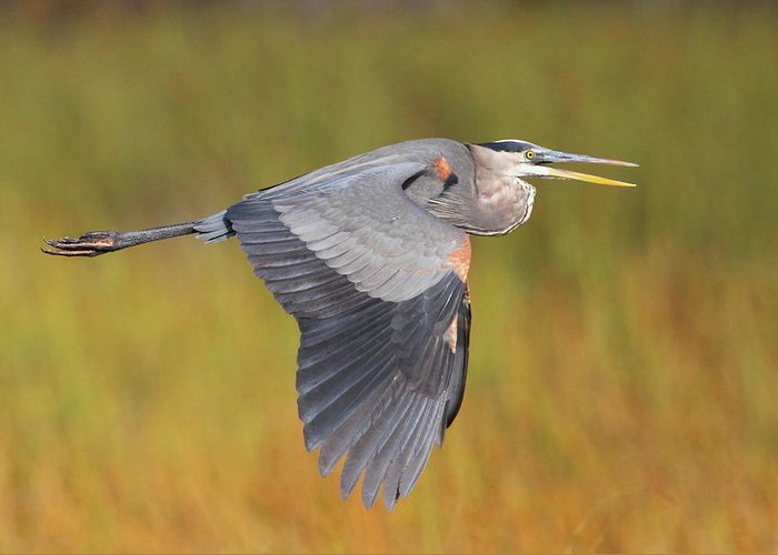 Heron Greeting Card featuring the photograph Great Blue Heron In Flight by Bruce J Robinson