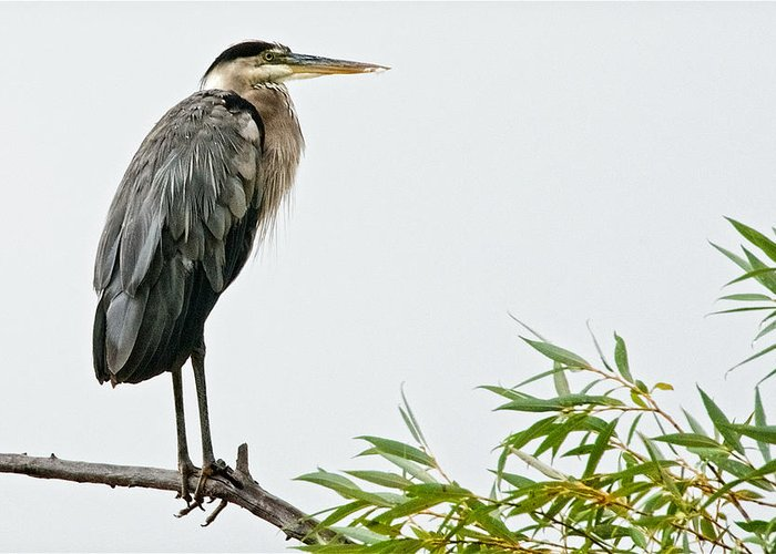 Nature Greeting Card featuring the photograph Great Blue Heron in the Rain by Zayne Diamond Photographic