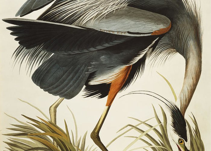 Great Blue Heron (ardea Herodias) Plate Ccxi From 'the Birds Of America' (aquatint & Engraving With Hand-colouring) By John James Audubon (1785-1851) Greeting Card featuring the drawing Great Blue Heron by John James Audubon