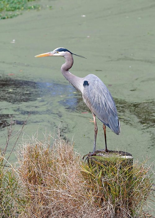 Bird Greeting Card featuring the photograph Great Blue Heron Near Pond by Daniel Caracappa