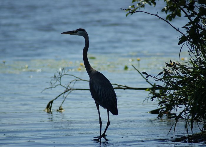Heron Greeting Card featuring the photograph Great Blue Heron by Ron Read