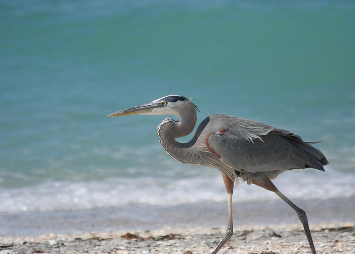Great Blue Heron Greeting Card featuring the photograph Great Blue Heron Strolling On The Beach by Bonnie Anderson