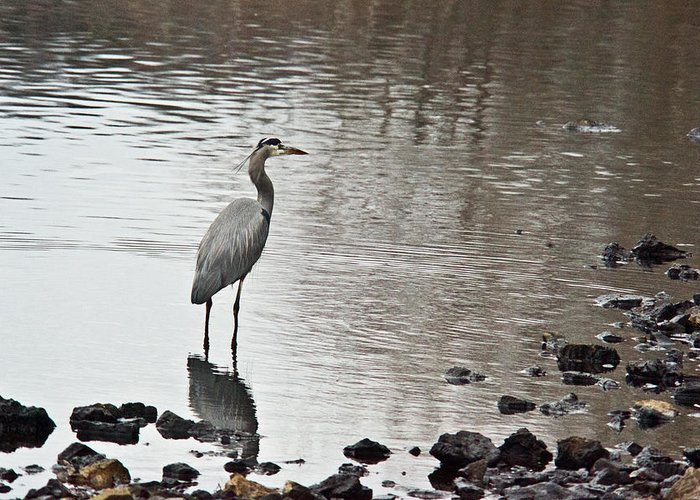 Great Greeting Card featuring the photograph Great Blue Heron Wading 2 by Douglas Barnett
